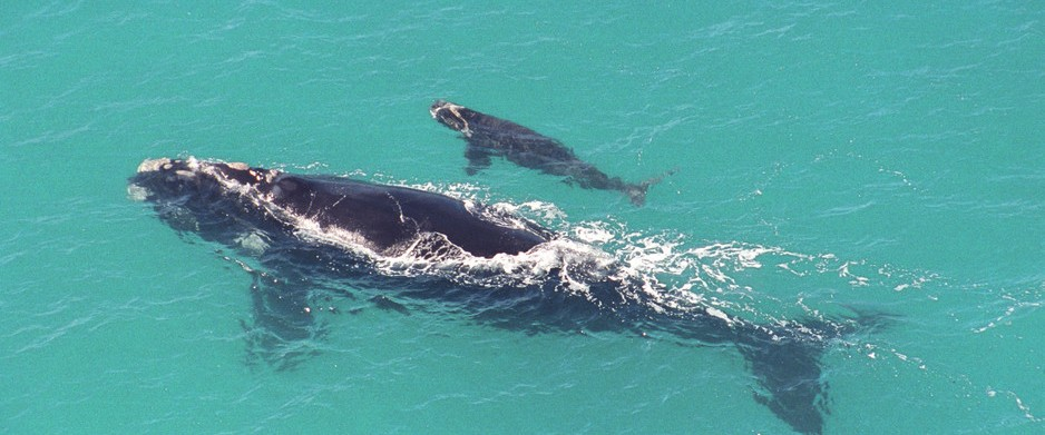 head-of-the-bight-mother-and-calf-whale-